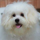 O cão minúsculo da raça do cachorrinho do tzu de Shih, envelhece 6 meses, jocosidade, loveli fotografia de stock royalty free
