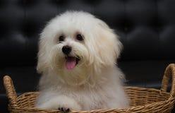 O cão minúsculo da raça do cachorrinho do tzu de Shih, envelhece 6 meses, jocosidade, loveli fotografia de stock