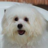 O cão minúsculo da raça do cachorrinho do tzu de Shih, envelhece 6 meses, jocosidade, loveli foto de stock royalty free
