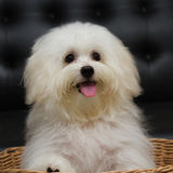 O cão minúsculo da raça do cachorrinho do tzu de Shih, envelhece 6 meses, jocosidade, loveli imagens de stock royalty free