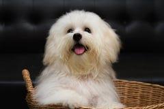 O cão minúsculo da raça do cachorrinho do tzu de Shih, envelhece 6 meses, jocosidade, loveli fotos de stock
