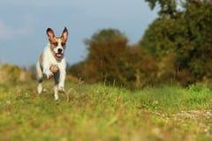 O cão misturado bonito da raça está correndo no prado Imagem de Stock