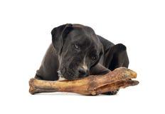 O cão misturado da raça come um osso grande em um estúdio branco fotos de stock royalty free