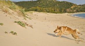 O cão misturado da raça salta na praia Imagem de Stock