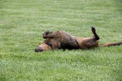 O cão misturado pastor da raça do pugilista rola nela para trás em um campo Fotografia de Stock