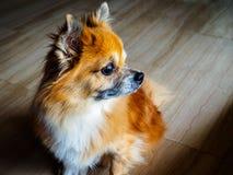 O cão misturado superior pequeno do salvamento da raça do estoque pomperanian e da chihuahua senta-se e olha-se fixamente na dist fotografia de stock royalty free