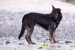 O cão molhado examina a praia Imagens de Stock Royalty Free