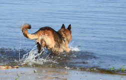 O cão molhado produz corridas europeias do leste do pastor na água Foto de Stock