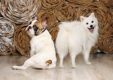 O cão não se vangloriará sobre o comprimento da cauda do its…! Fotografia de Stock Royalty Free