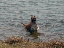 O cão na água fotos de stock royalty free