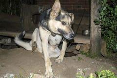O cão na corrente, protege a casa Foto de Stock