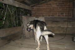 O cão na corrente, protege a casa Imagens de Stock Royalty Free
