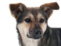 O cão na neve Imagem de Stock Royalty Free