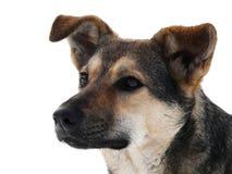 O cão na neve Imagens de Stock Royalty Free