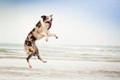 O cão na praia salta para travar o disco Fotos de Stock
