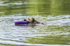 o cão nada com o anel em sua boca em um dia de verão imagem de stock
