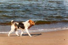 O cão nada no mar O cão está jogando nas ondas do mar Báltico Divertimento na água Fotos de Stock Royalty Free