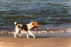 O cão nada no mar O cão está jogando nas ondas do mar Báltico Divertimento na água Fotos de Stock