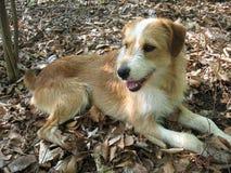 O cão nas madeiras Fotografia de Stock Royalty Free