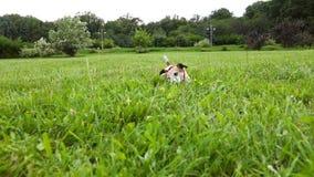 O cão no lenço vermelho traz a bola de tênis do que estabeleça na grama Horas de verão felizes ativas Imagens de vídeo vídeos de arquivo