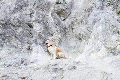 O cão obediente de Akita Inu do japonês do puro-sangue fiel bonito senta-se em uma rocha da pedra calcária no verão foto de stock royalty free