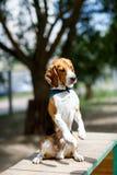 O cão obediente do lebreiro executa o comando imagens de stock royalty free