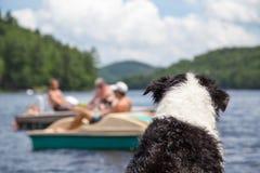O cão olha a atividade no lago Fotos de Stock