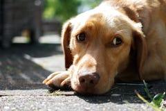 O cão olha lateralmente com um olhar triste Fotos de Stock Royalty Free