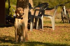 O cão olha na distância Foto de Stock Royalty Free
