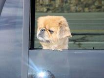 O cão olha para fora a janela Imagem de Stock Royalty Free