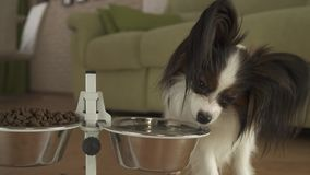 O cão Papillon bebe limpo de uma bacia do metal em um suporte no vídeo da metragem do estoque da sala de visitas vídeos de arquivo