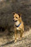 O cão para uma caminhada Fotografia de Stock Royalty Free