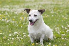 O cão para uma caminhada Fotos de Stock Royalty Free