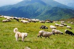O cão-pastor Carpathian imagens de stock royalty free