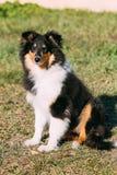 O cão pastor de Shetland, Sheltie, Collie Puppy Foto de Stock Royalty Free