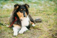 O cão pastor de Shetland, Sheltie, Collie Puppy Fotografia de Stock