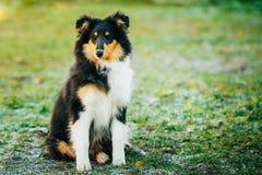 O cão pastor de Shetland, Sheltie, Collie Puppy Outdoor foto de stock royalty free
