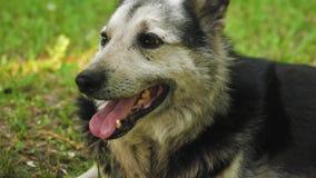 O cão-pastor encontra-se no gramado e na casa de protetores verdes o cão está quente, colou para fora sua língua e respirou profu video estoque