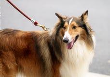 O cão pastor grande fotografia de stock