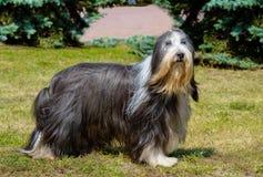 O cão pastor inglês velho olha de lado Imagem de Stock
