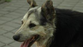 O cão-pastor respira profundamente, retirando sua língua do calor que encontra-se na grama no parque video estoque