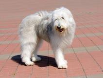 O cão pastor sul do russo olha de lado foto de stock