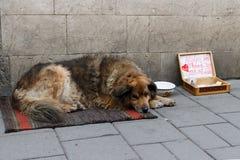 O cão pede milostny Fotografia de Stock