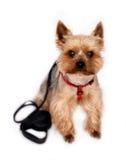 O cão pequeno com Cão-conduz Imagens de Stock Royalty Free