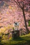 O cão pequeno e a flor de cerejeira cor-de-rosa em Chiangmai Tailândia Fotografia de Stock Royalty Free