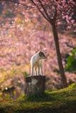 O cão pequeno e a flor de cerejeira cor-de-rosa em Chiangmai Tailândia Imagem de Stock