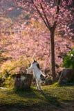 O cão pequeno e a flor de cerejeira cor-de-rosa em Chiangmai Tailândia Fotografia de Stock