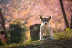 O cão pequeno e a flor de cerejeira cor-de-rosa em Chiangmai Tailândia Imagem de Stock Royalty Free