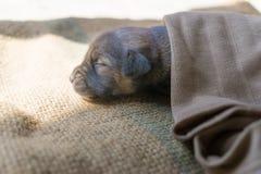 O cão pequeno está dormindo Fotografia de Stock