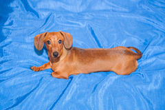 O cão pequeno, produz olhares de uma taxa em uma câmara Fotografia de Stock